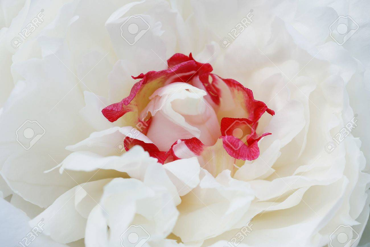 Peony Flower Stock Photo - 4281535