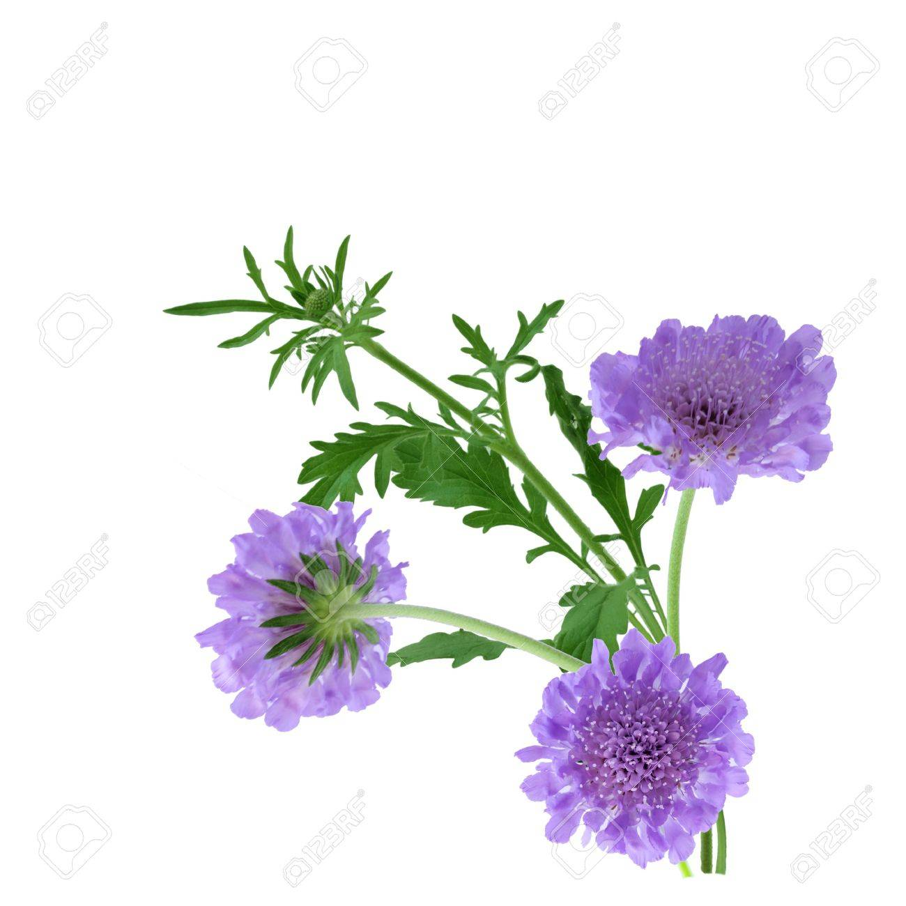 Perennial Pincushion Flowers Scabiosa Columbaria Isolated On Stock