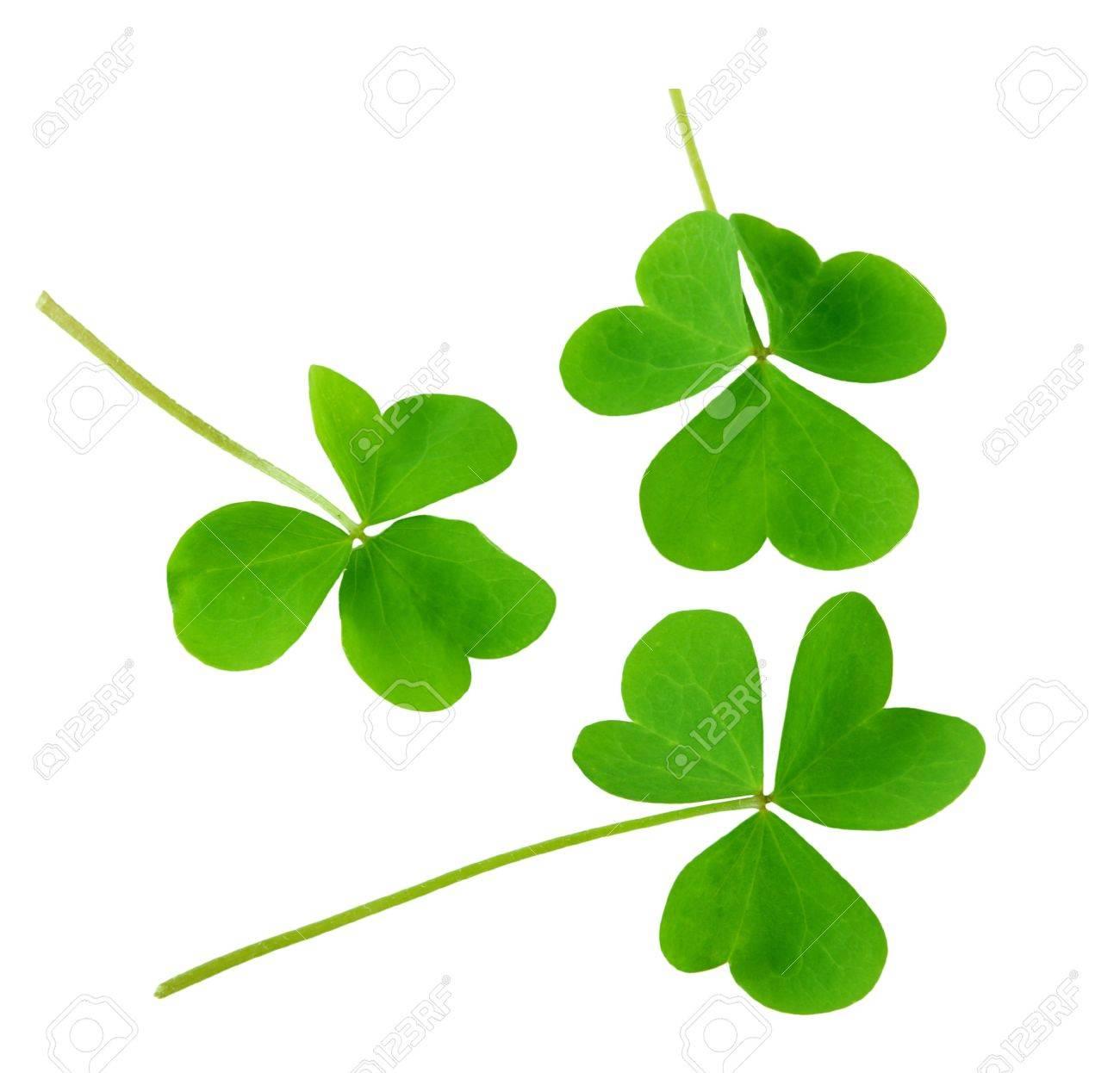 three green shamrock leaves isolated on white background stock