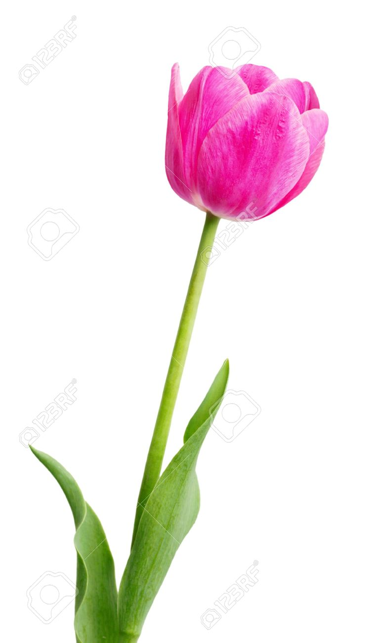 Single early pink tulip flower isolated on white stock photo single early pink tulip flower isolated on white stock photo 4876042 dhlflorist Image collections
