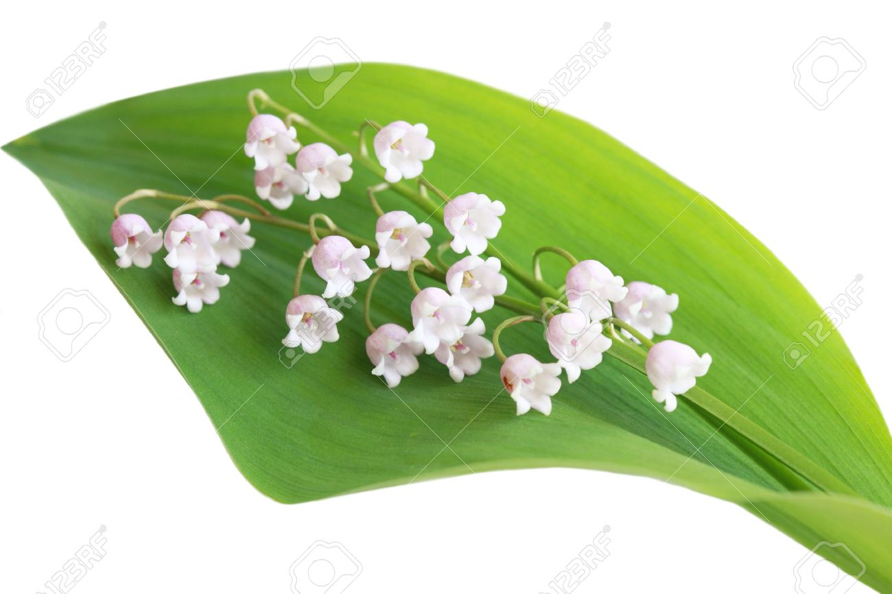 Pink Lily Of The Valley Flower On Its Leaf Stock Photo Picture And