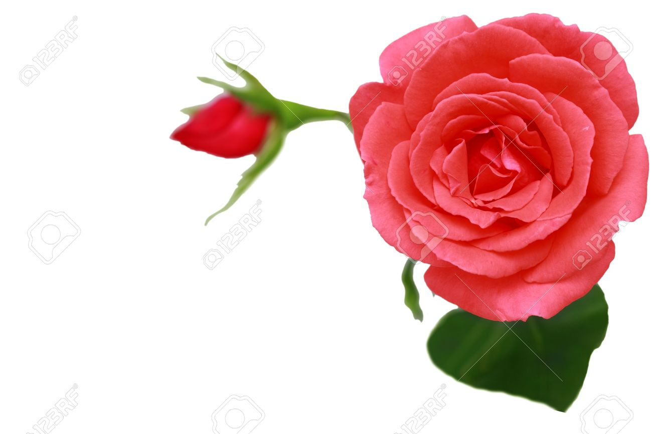 Single pink rose flower isolated on white background stock photo single pink rose flower isolated on white background stock photo 5317950 mightylinksfo