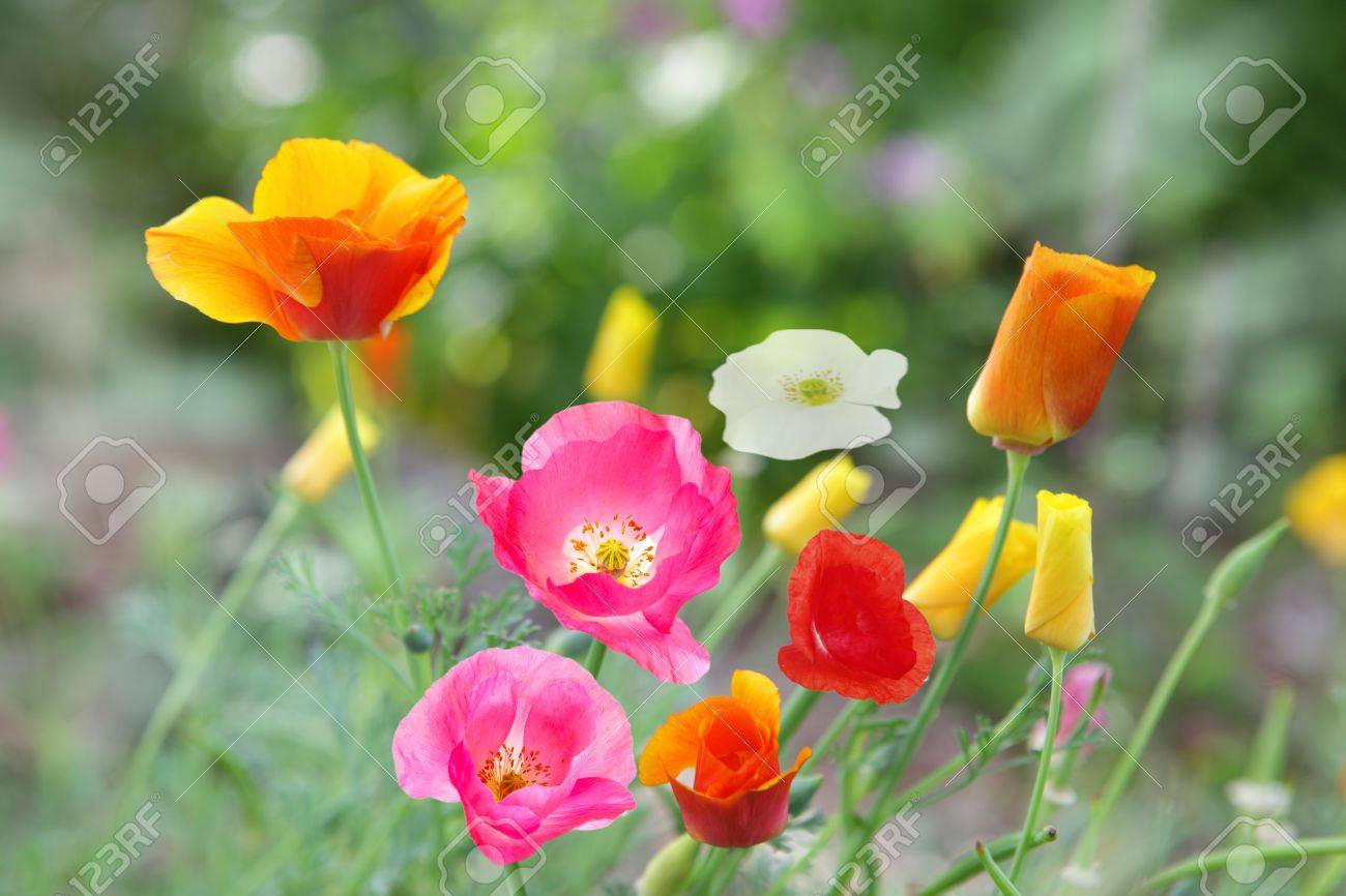 Beautiful poppy flowers in different colors in the garden stock beautiful poppy flowers in different colors in the garden stock photo 5348811 mightylinksfo