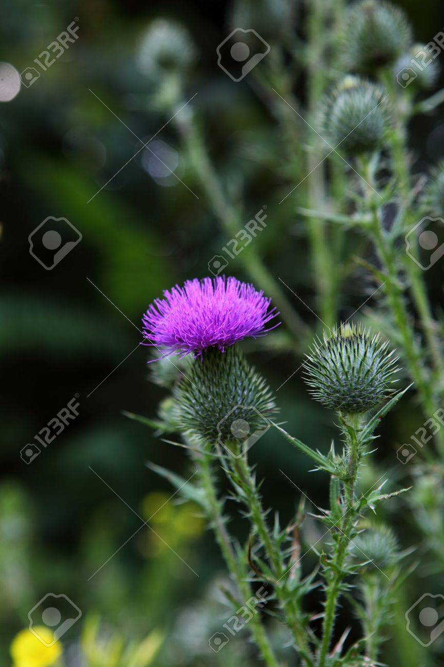 Bull scotch thistle Cirsium vulgare flower plant Stock Photo - 5348820