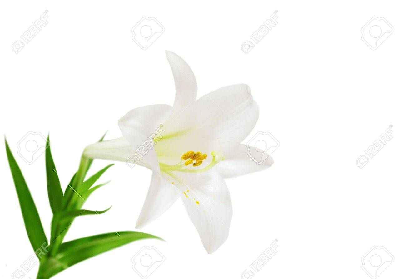Lilium longiflorum easter lily flower isolated on white stock photo lilium longiflorum easter lily flower isolated on white stock photo 5366156 izmirmasajfo