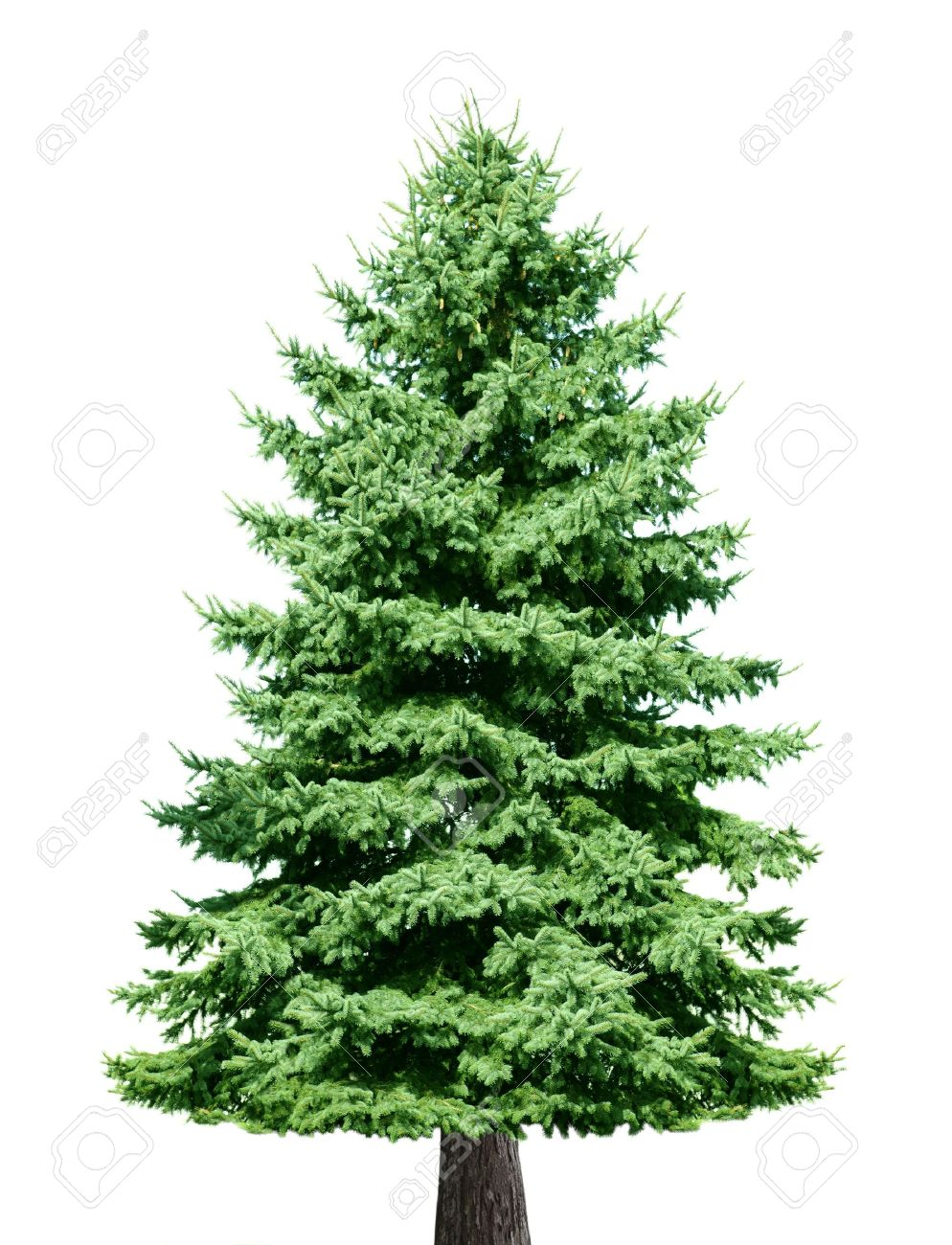 single pine tree isolated on white background stock photo picture