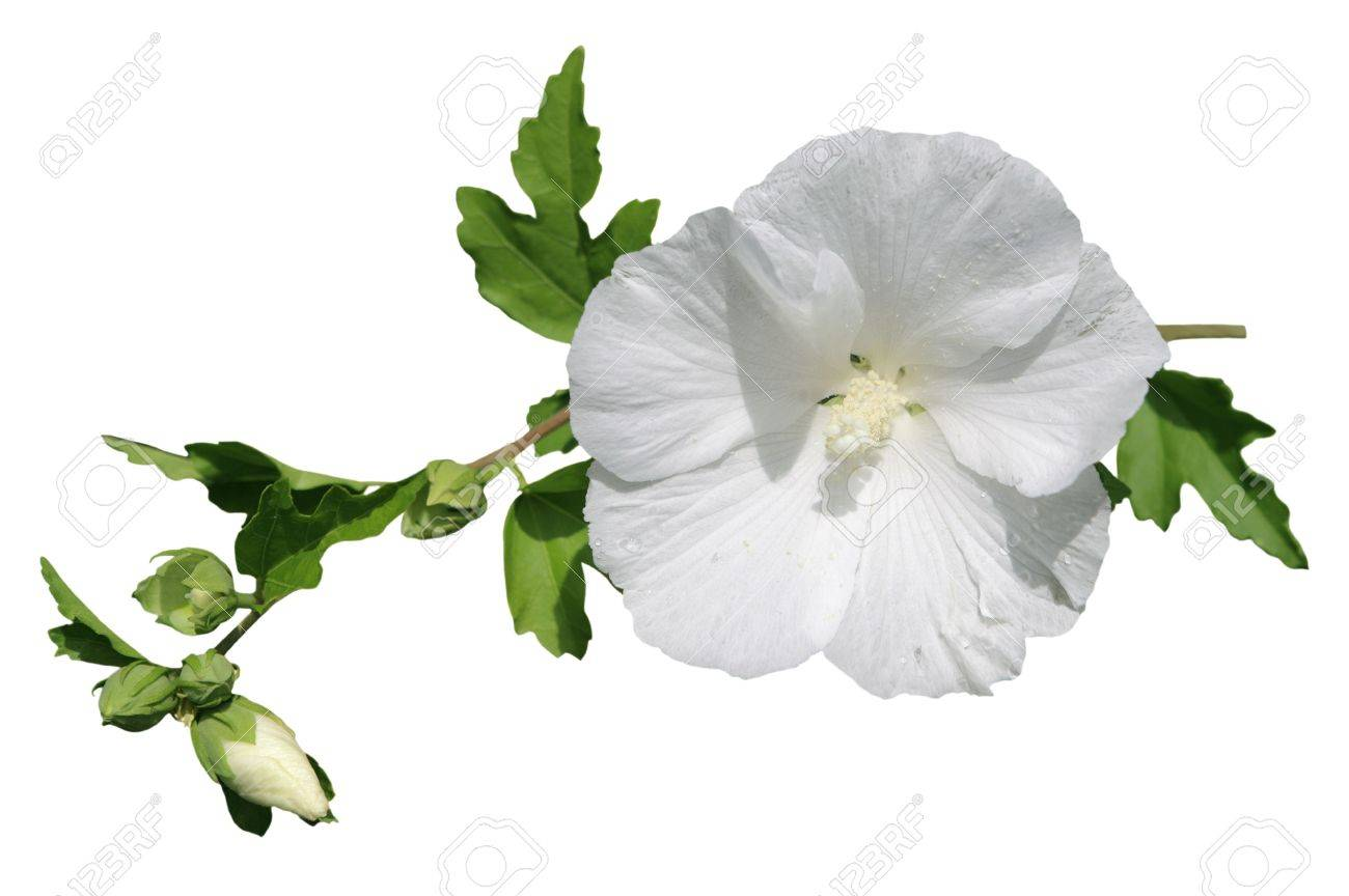 Single Fresh Hibiscus Flower On Branch Isolated Stock Photo Picture