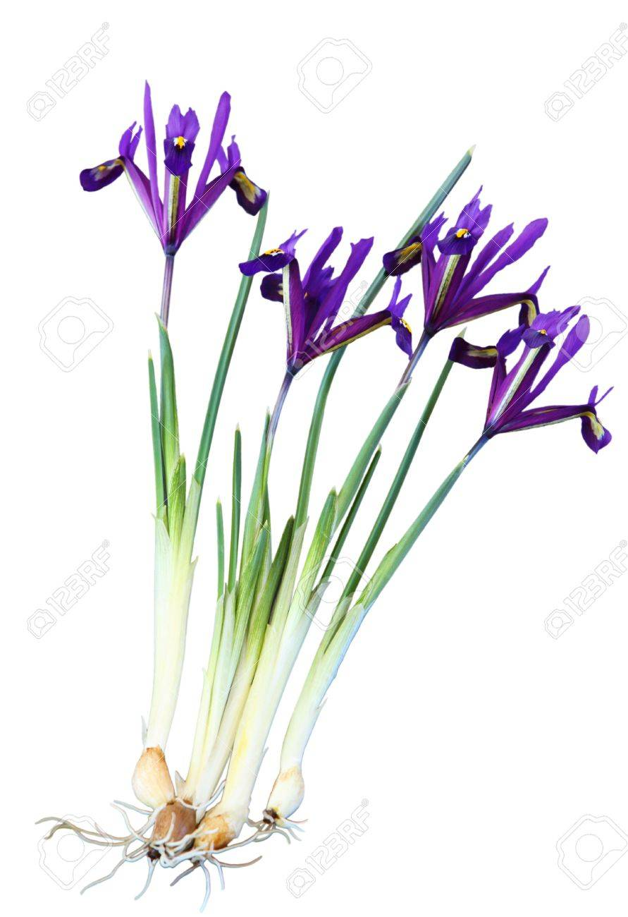 Tiny Spring Iris Flower Plant With Bulbs Isolated On White Stock