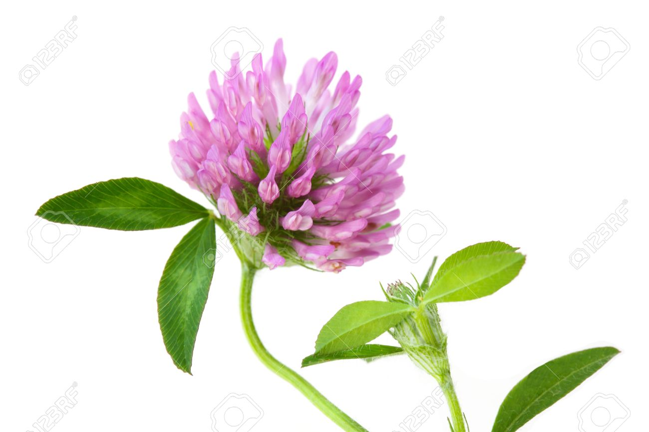 Single Pink Clover Wild Flower Isolated On White Stock Photo