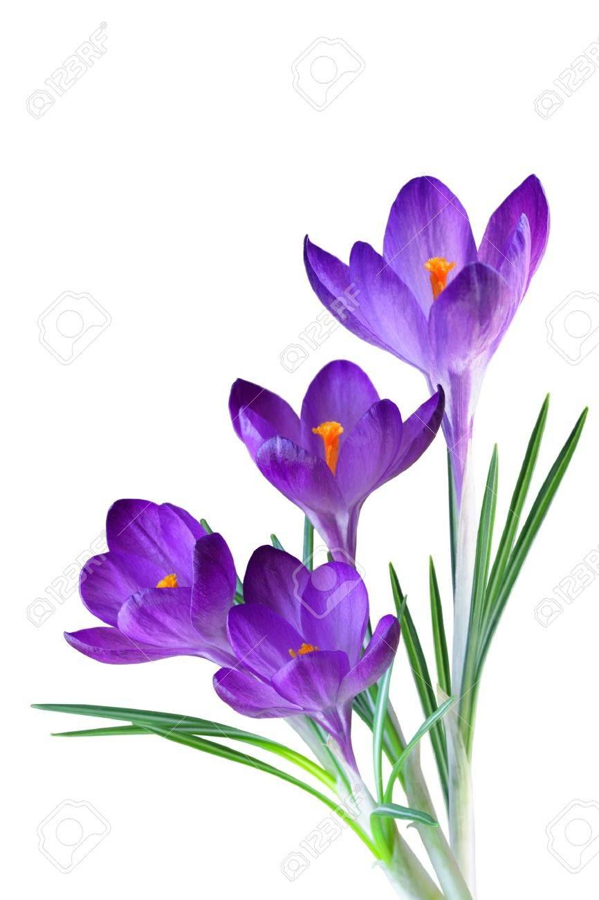 Crocus flower in the spring isolated on white stock photo picture crocus flower in the spring isolated on white stock photo 8550680 mightylinksfo