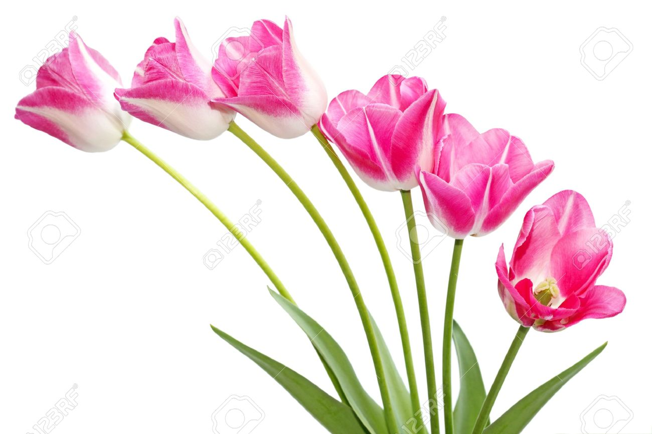 fresh pink tulip flowers isolated on white stock photo, picture, Beautiful flower