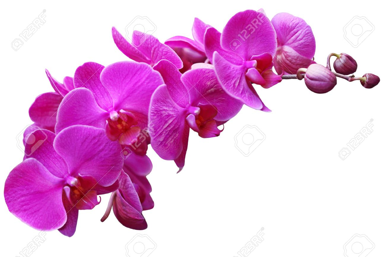 Purple Orchid Stock Photos Royalty Free Purple Orchid Images
