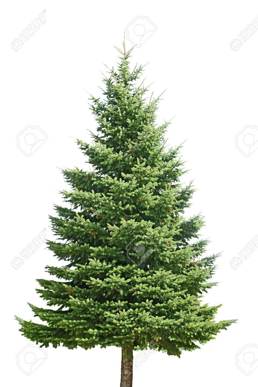 Fresh Pine Tree Isolated On White Background Stock Photo, Picture ...