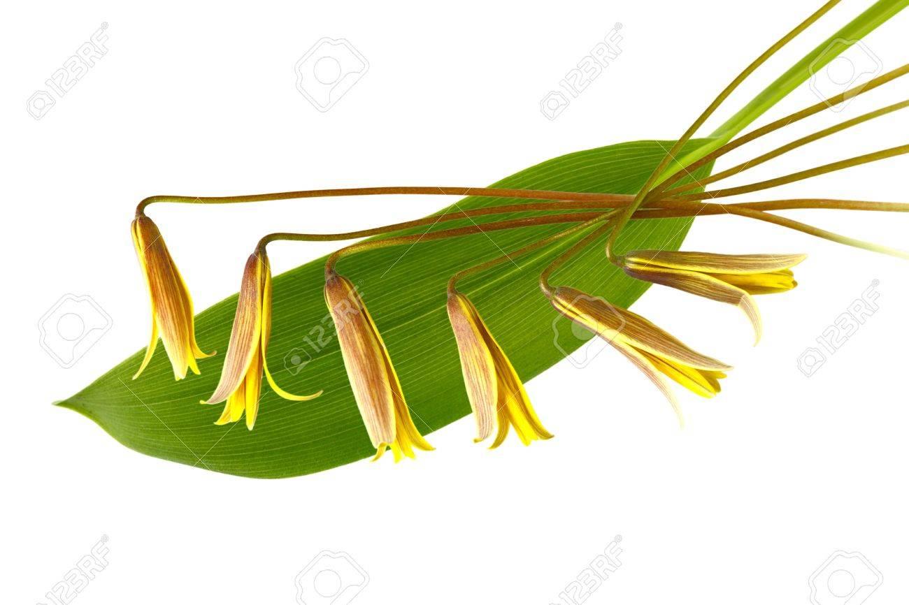 Sessile Leaf Bellwort Sessile Bellwort Wild Oats