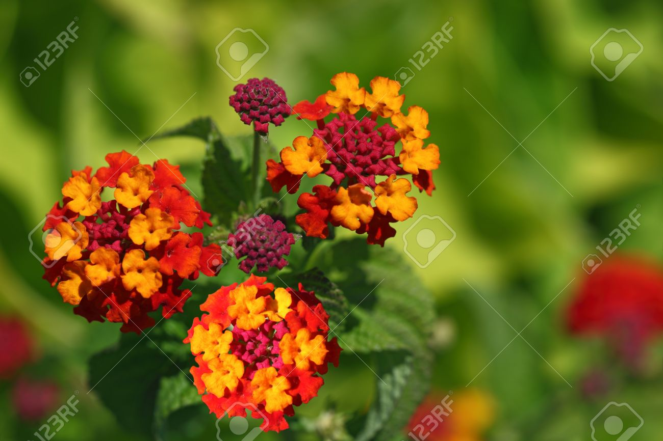 Red Orange Yellow Lantana Flower Plant Stock Photo Picture And