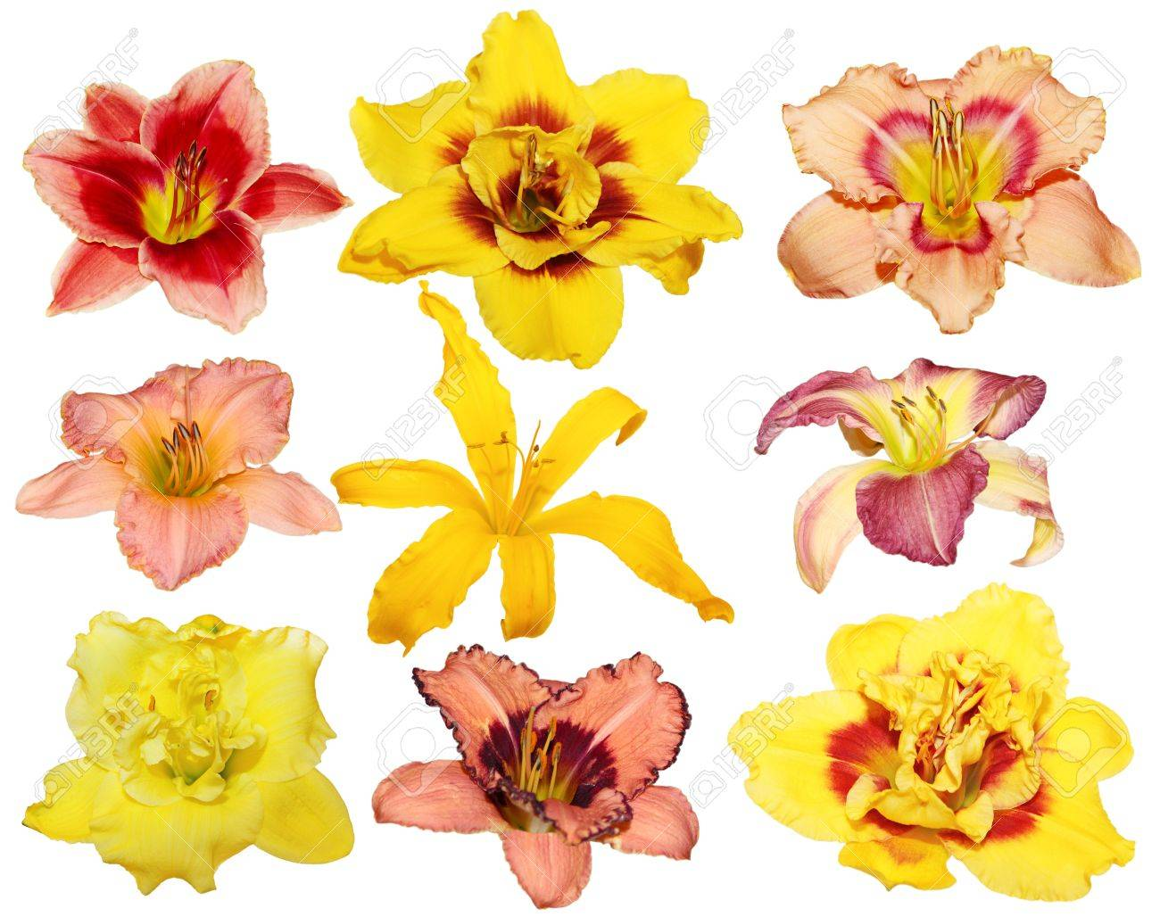 Collection of nine different day lily flower heads isolated on collection of nine different day lily flower heads isolated on white background stock photo 11548721 izmirmasajfo Image collections
