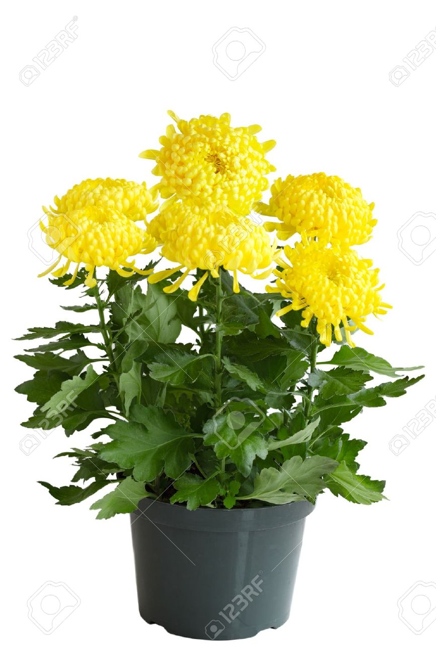 Yellow Curly Chrysanthemum Flower Plant In The Pot Stock Photo