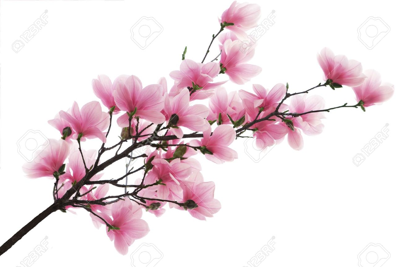 Pink Magnolia Blossom Flower Branch Isolated On White Stock Photo