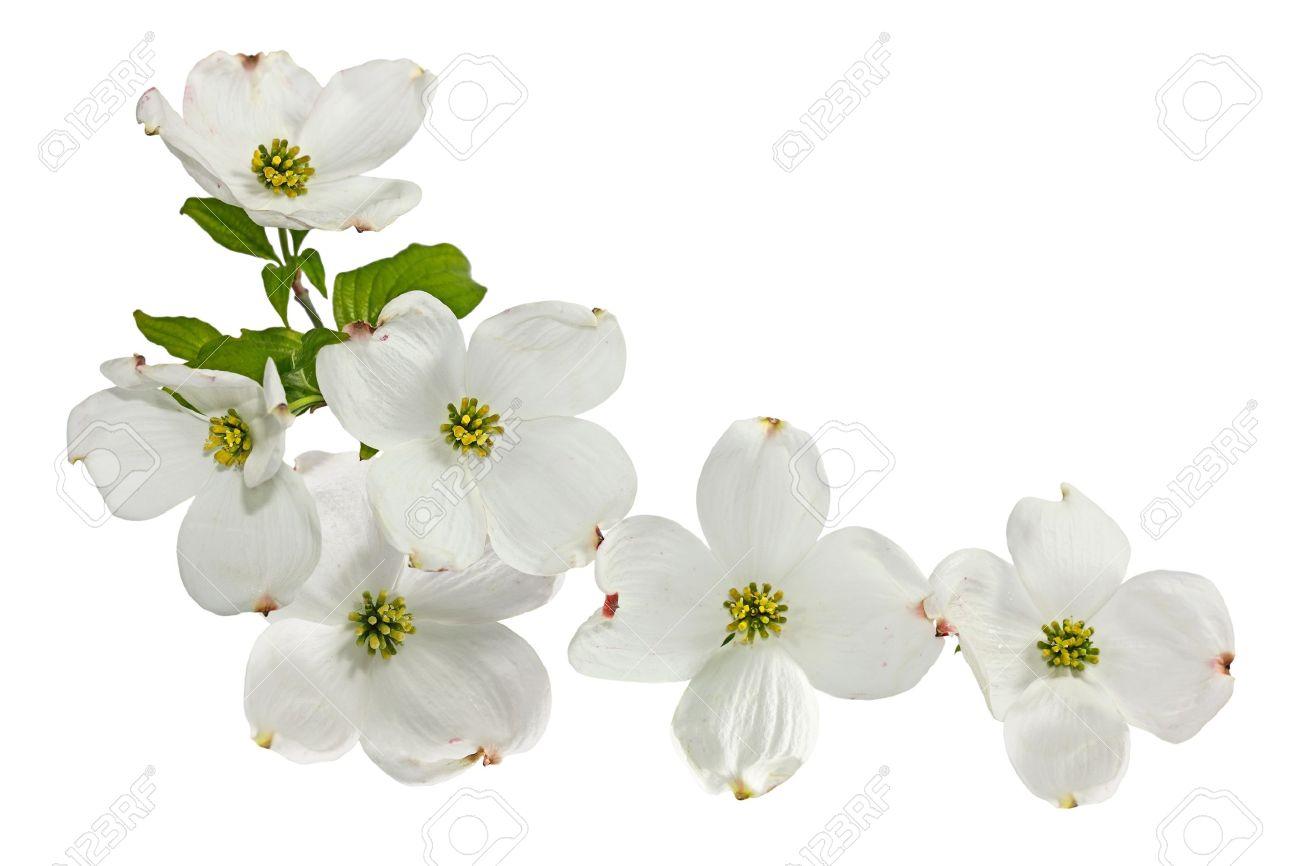 Pink White Dogwood Blossom Spring Flower Isolated On White Stock