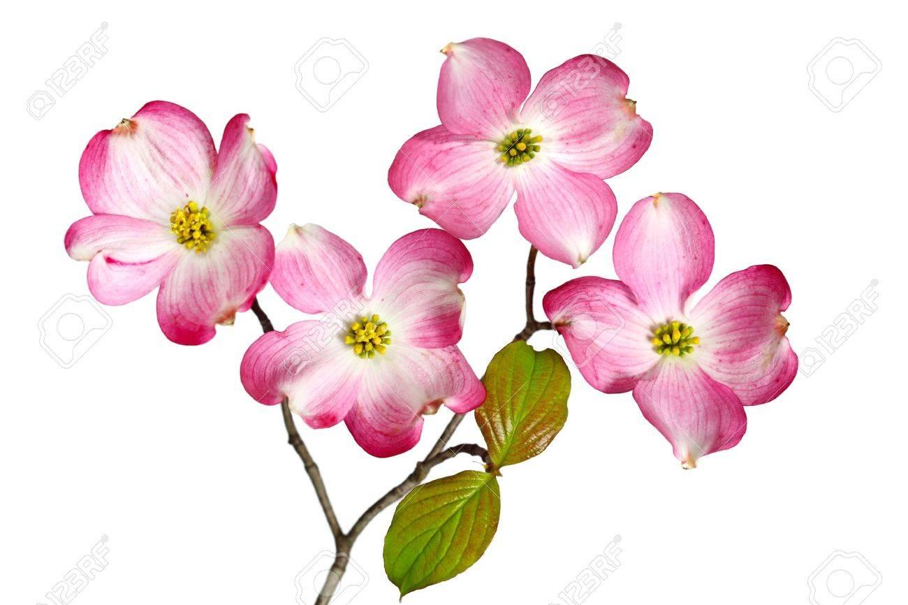 Red Dogwood Blossom Flowers Isolated On White Background Stock Photo