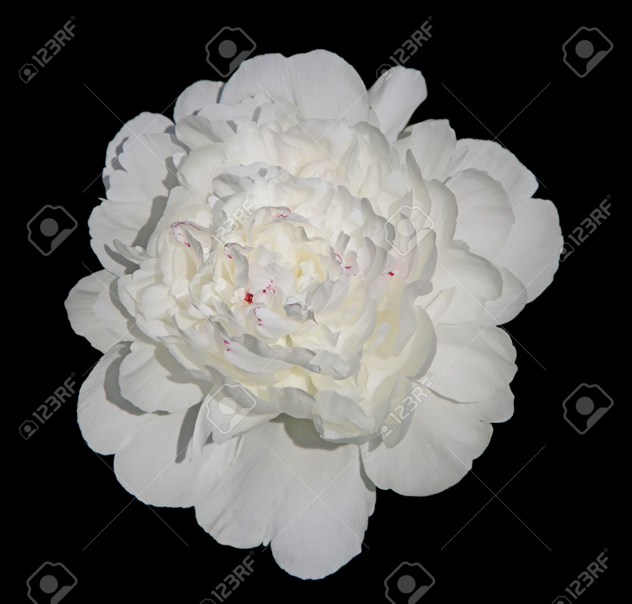 Single white peony flower isolated on black background stock photo single white peony flower isolated on black background stock photo 13956378 mightylinksfo Image collections