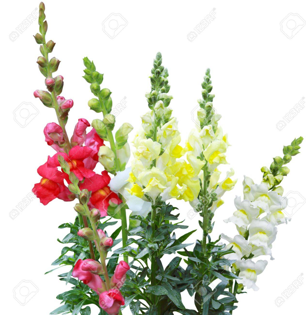 Antirrhinum majus snapdragon flowers come in shades of yellow antirrhinum majus snapdragon flowers come in shades of yellow white pink red stock mightylinksfo