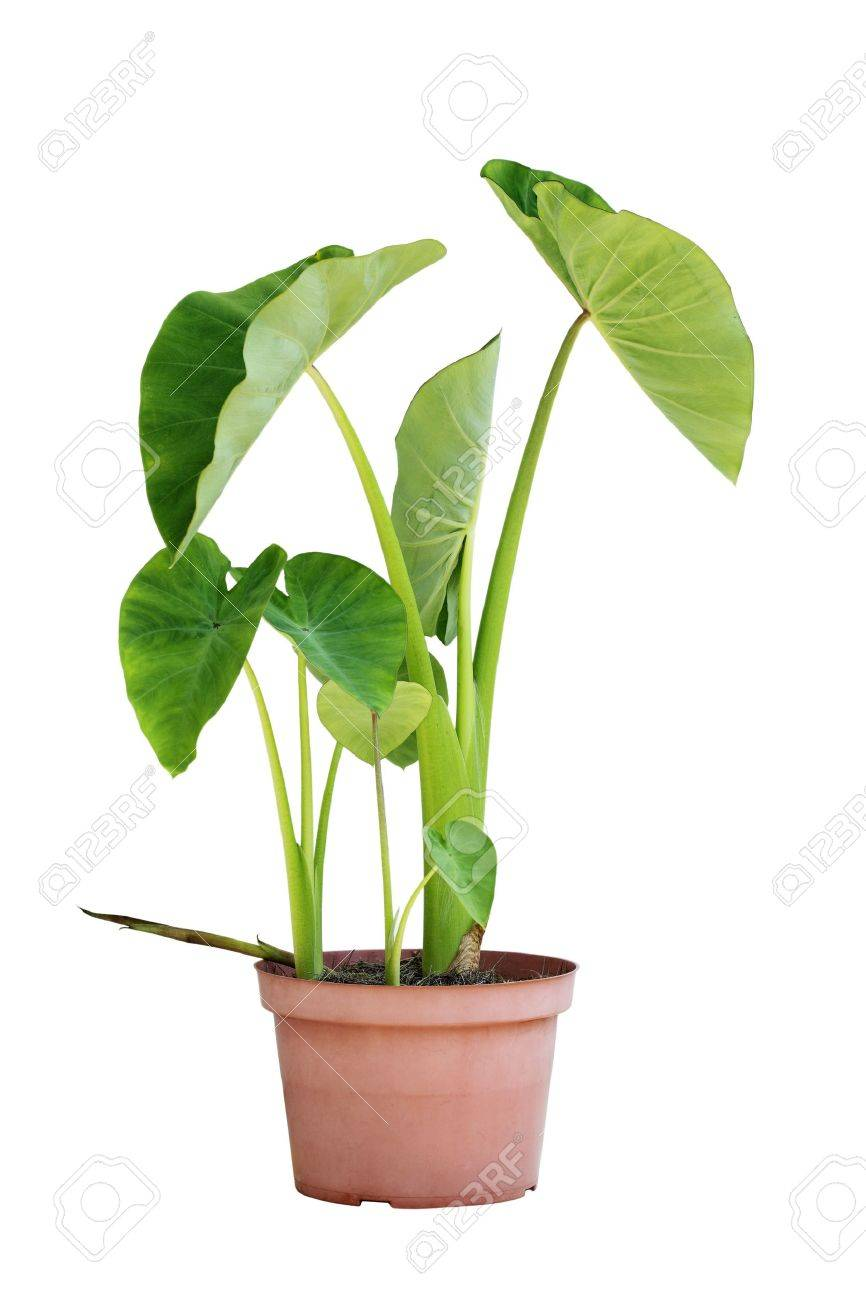 Elephant Ear Taro Plants In A Pot Isolated On White Stock Photo Picture And Royalty Free Image Image 14877909