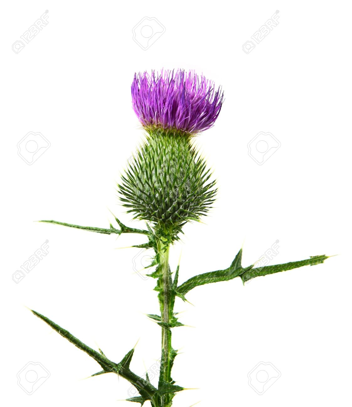 Milk Thistle Flower Plant Isolated On White Background Stock Photo