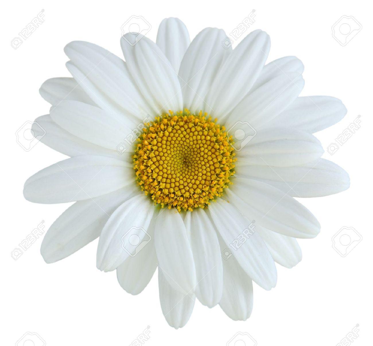 Single daisy flower isolated on white background stock photo single daisy flower isolated on white background stock photo 16568413 mightylinksfo Images