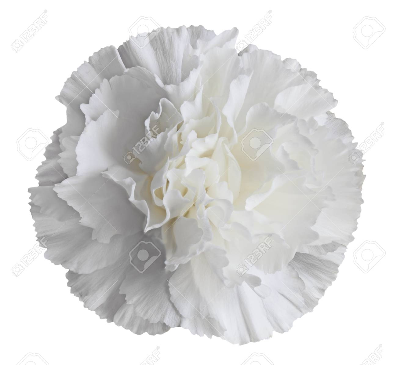 Single Fresh White Carnation Flower Isolated Stock Photo, Picture ...