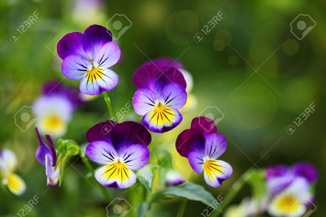 Pansy Stock Photos And Images 123rf