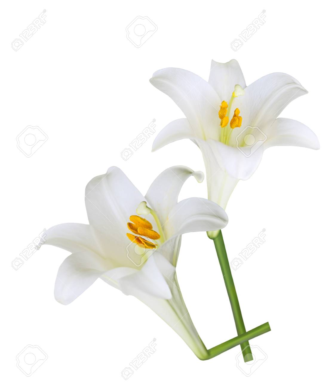 Fresh easter lily flowers isolated on white background stock photo fresh easter lily flowers isolated on white background stock photo 22155136 izmirmasajfo