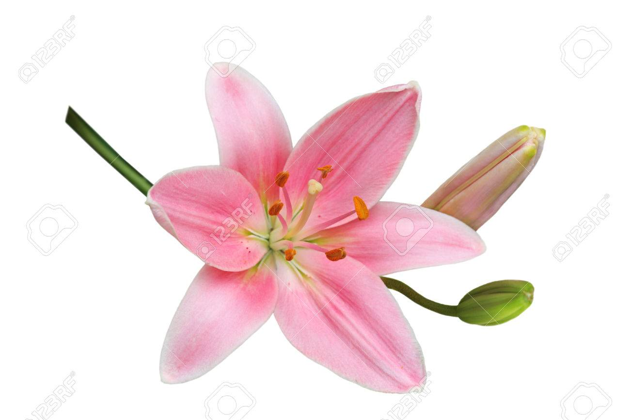 Single Fresh Pink Lily Flower Isolated On White Background Stock
