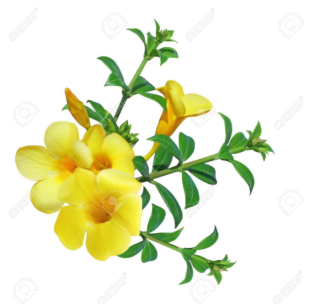 Allamanda Flower Yellow Bell Isolated On White Background Stock