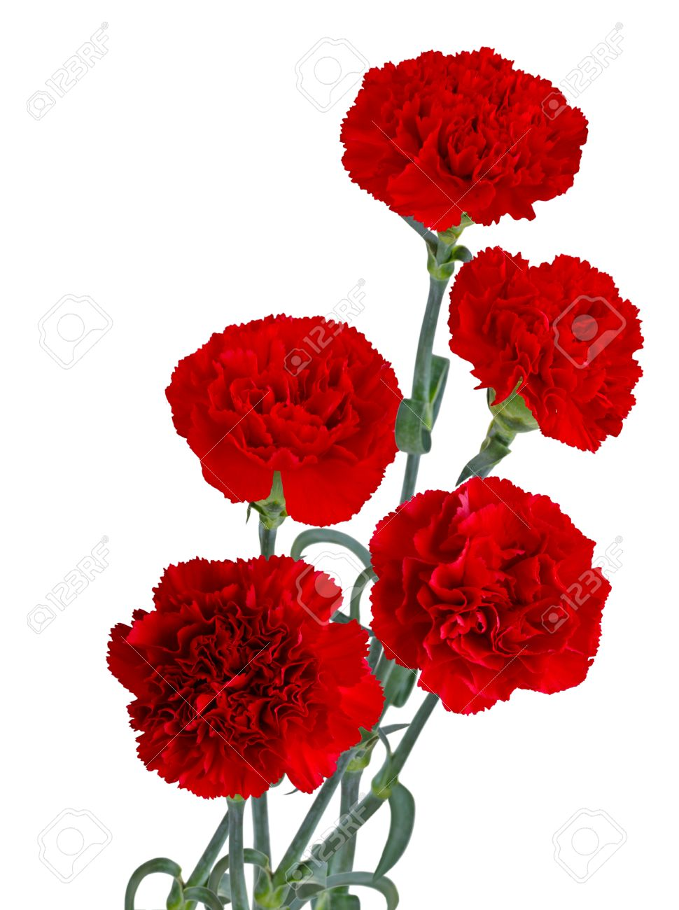 Red Carnation Flower Bouquet Isolated On White Background Stock
