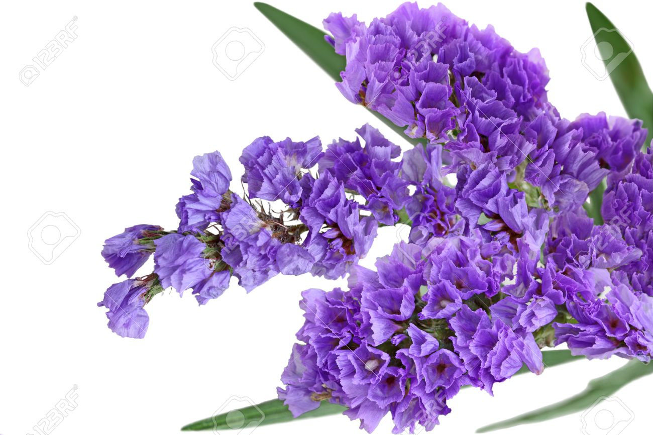 close up of purple statice sinuata flower isolated on white, Natural flower