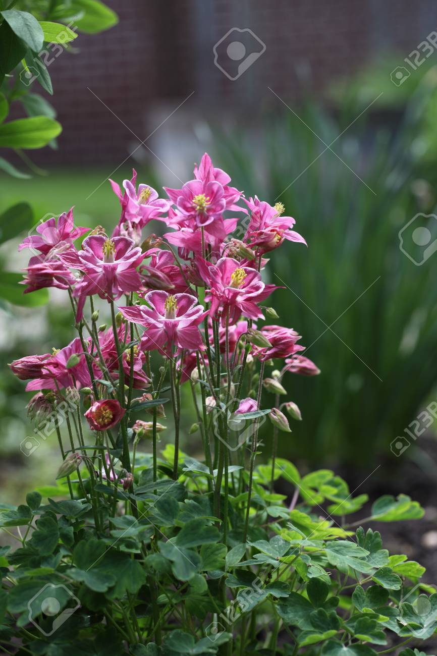 Crimson Star Columbine Flower Plant In The Garden Stock Photo