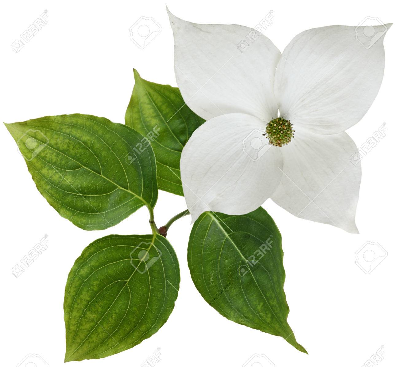 White Dogwood Flower Isolated Over Background Stock Photo Picture