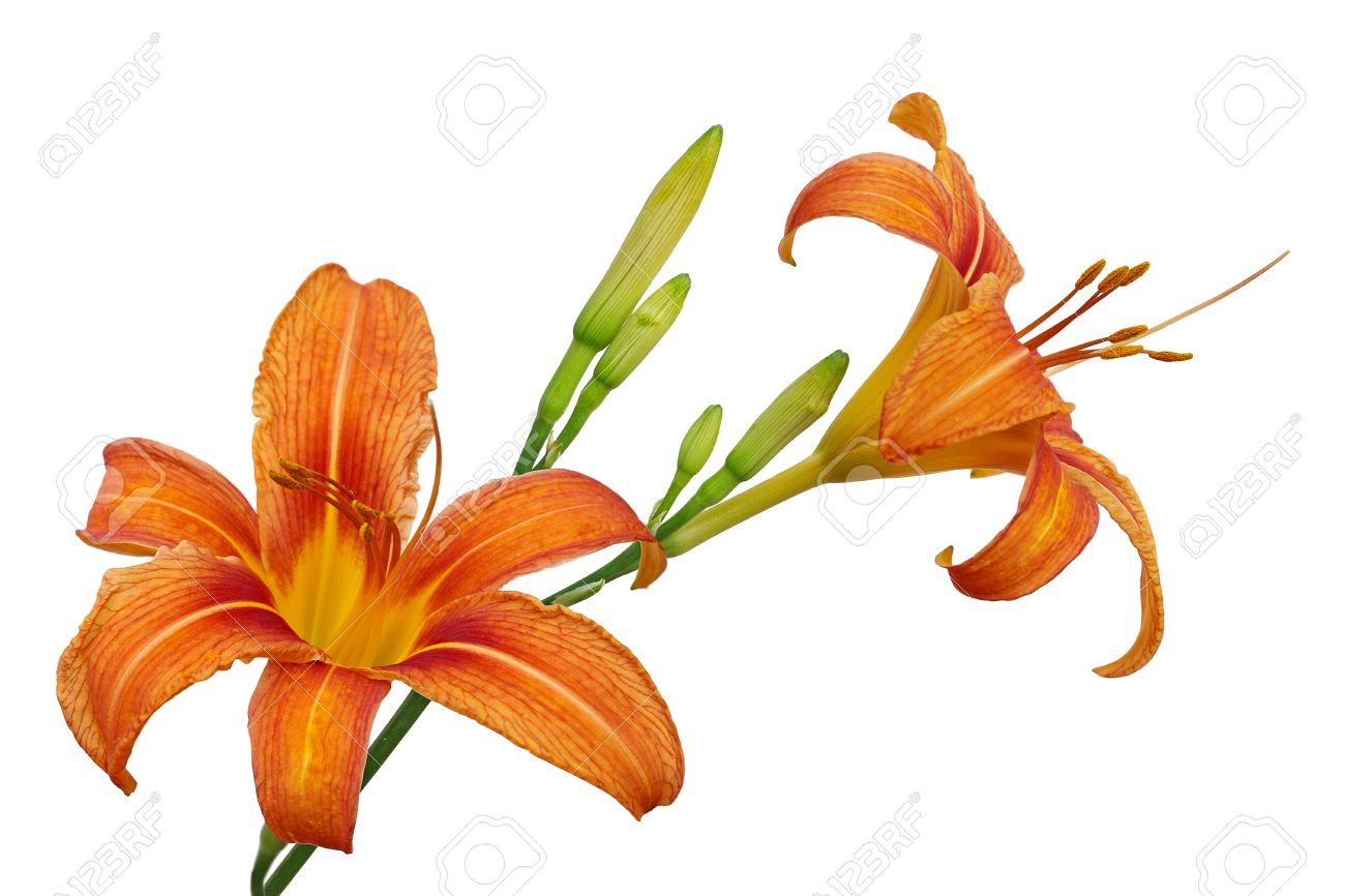 Orange Day Lily Flower Or Tiger Daylily Fulvous Daylily Ditch
