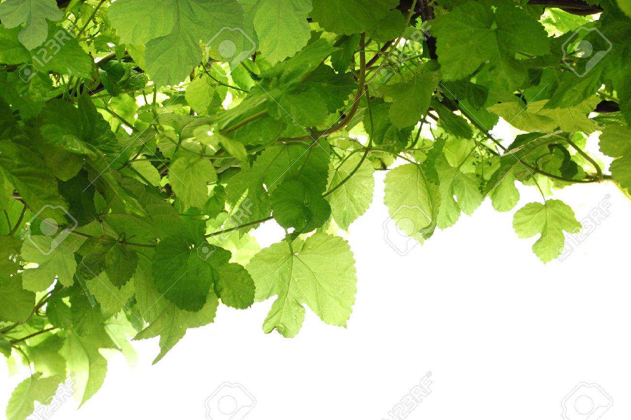 Green Grape Leaf On Vine For Nature Background Isolated On White Stock Photo Picture And Royalty Free Image Image 50733857