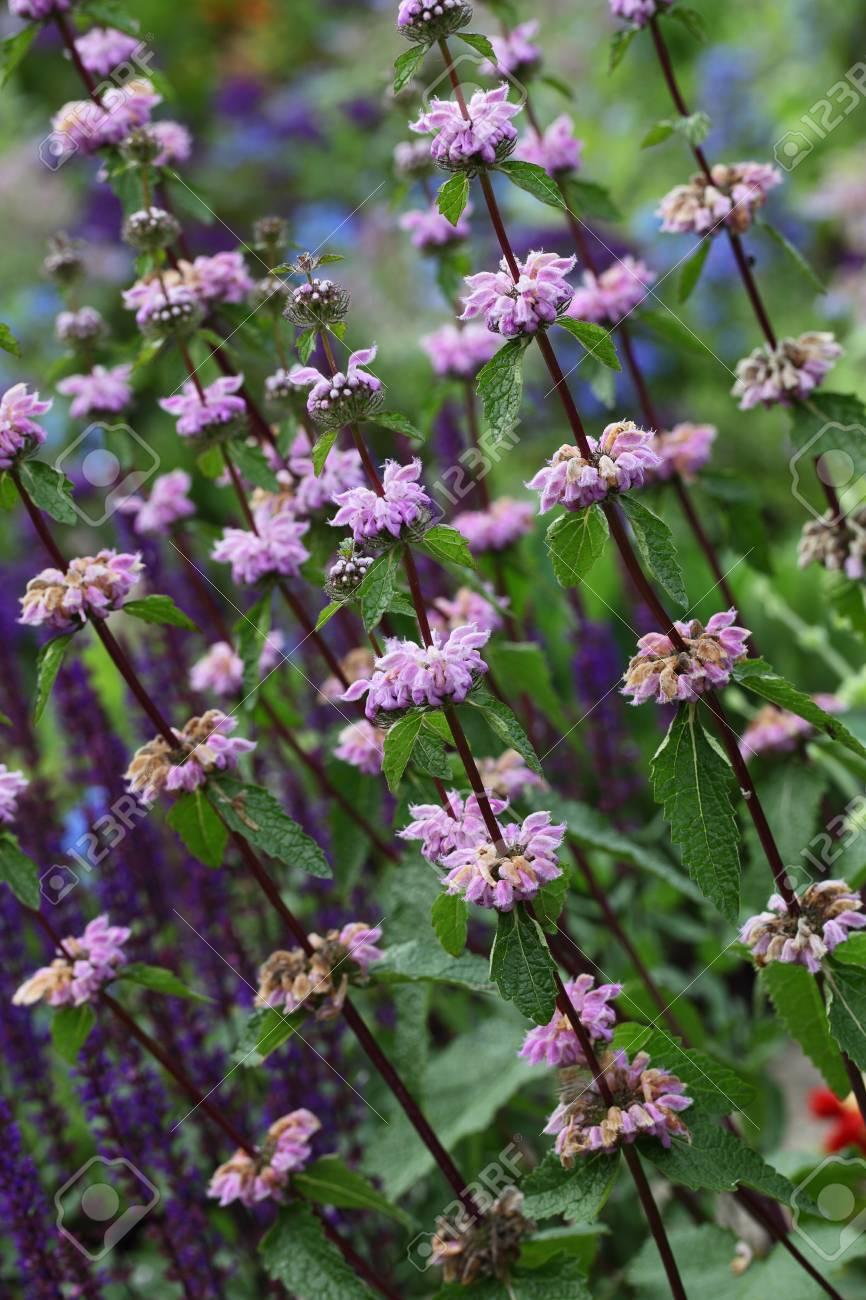 Purple wild mint flower plant in the park