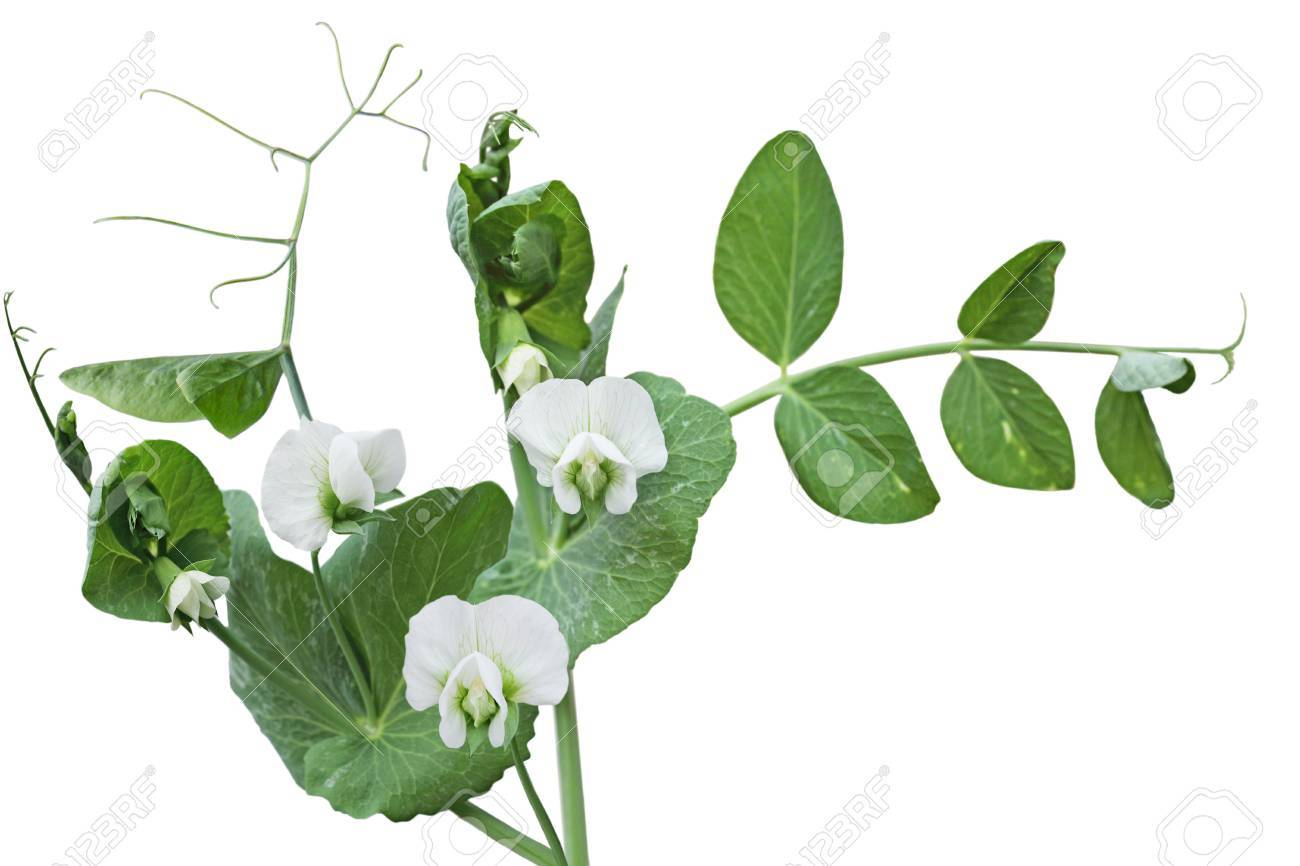 White peas flower vine isolated on white background stock photo stock photo white peas flower vine isolated on white background mightylinksfo