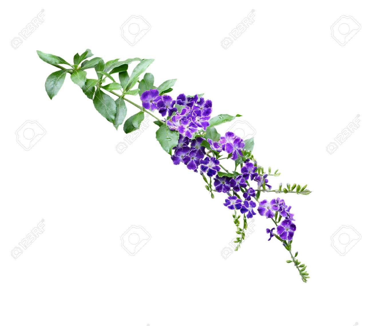 Duranta Erecta Purple Flower With White Rim On Branch Isolated