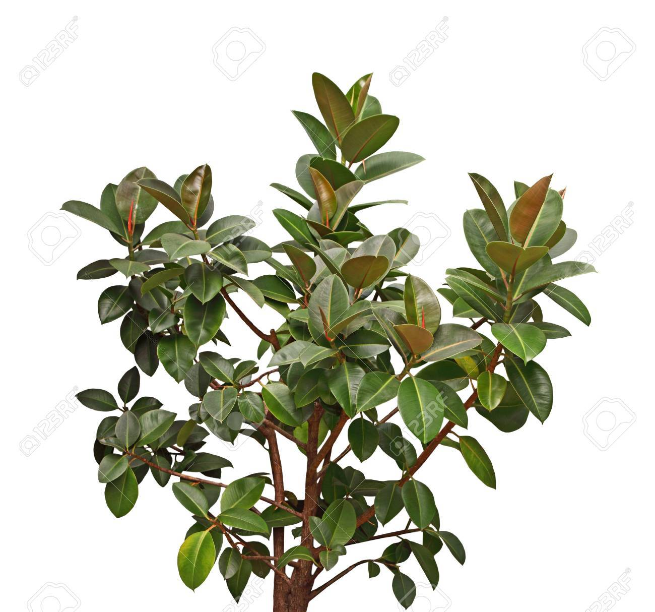 Little Gem Southern Magnolia Tree With Dark Green Leave And Rusty