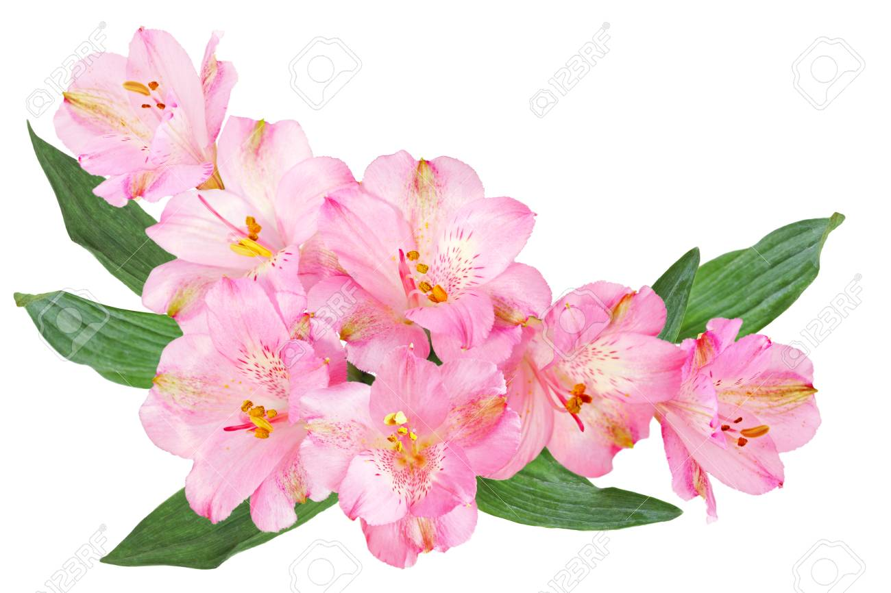 Pink alstroemeria peruvian lily flowers isolated on white pink alstroemeria peruvian lily flowers isolated on white background stock photo 77500149 mightylinksfo Gallery