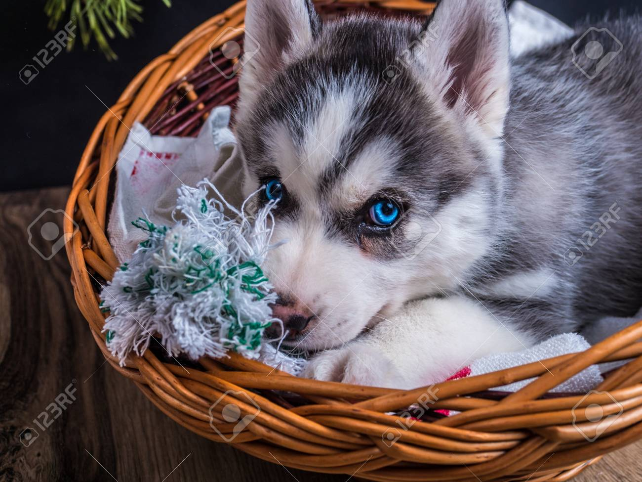 Cute Siberian Husky Puppy With Blue Eyes In The Basket Stock Photo Picture And Royalty Free Image Image 56966234