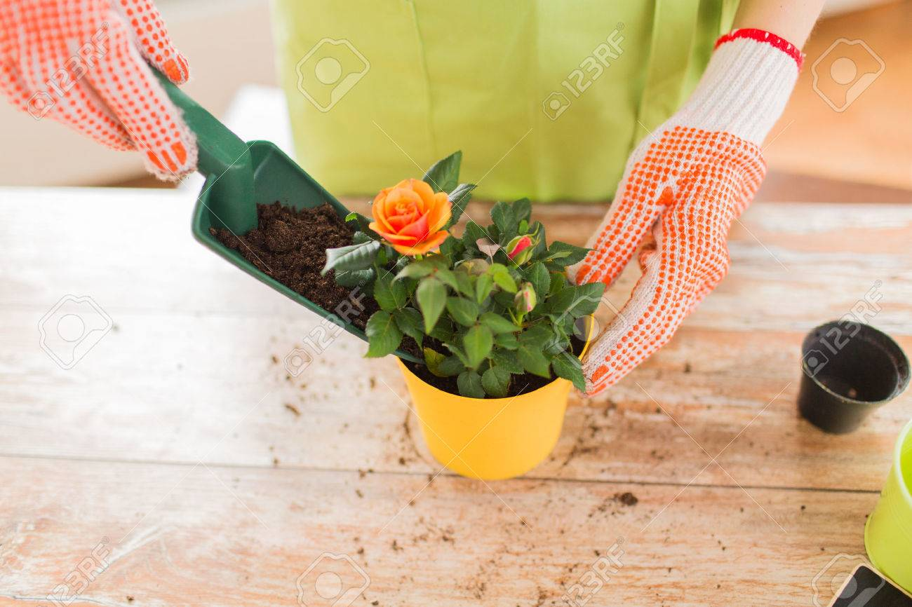 people gardening flower planting and profession concept close up of woman or gardener hands planting roses