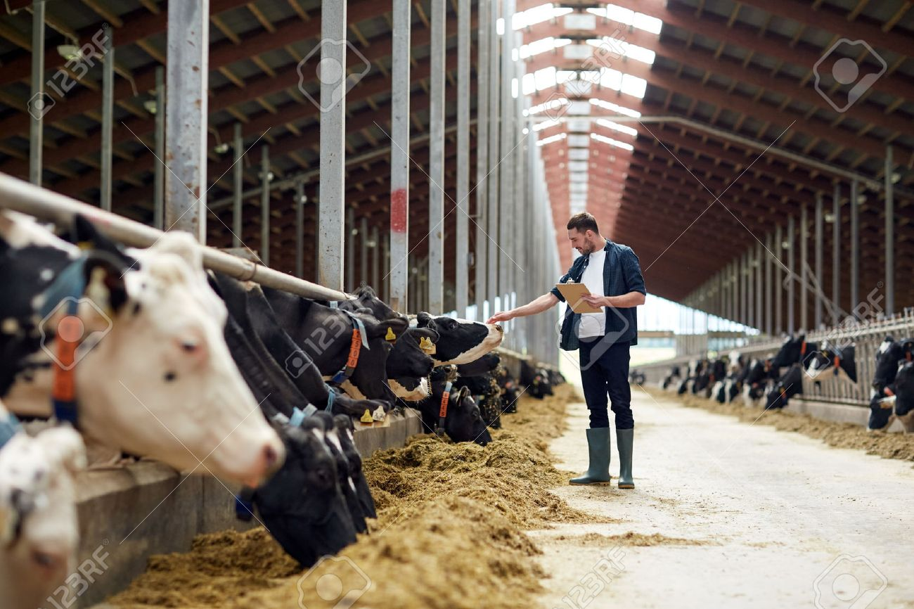 farmer with clipboard and cows in cowshed on farm Standard-Bild - 71674988