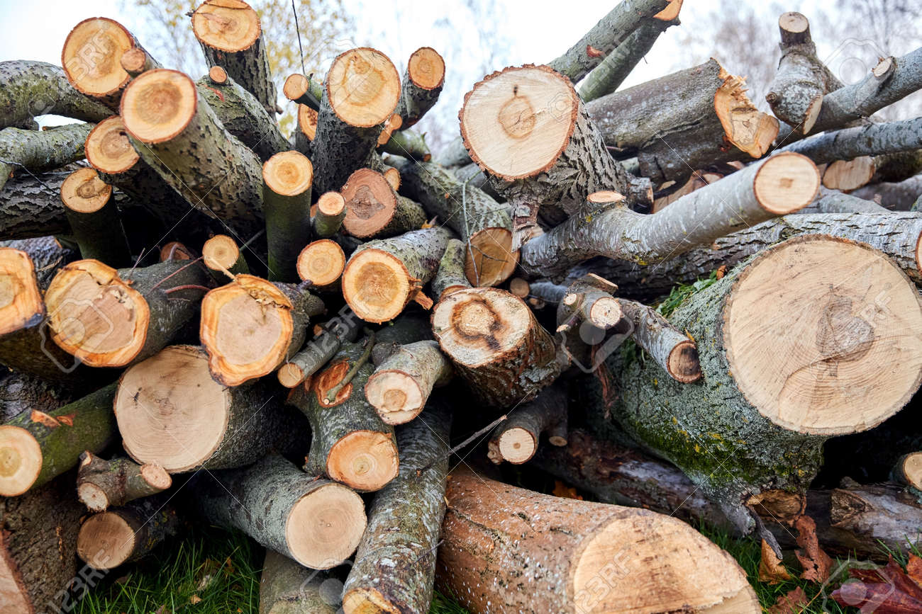 trunks of felled trees or logs outdoors in autumn - 169973256