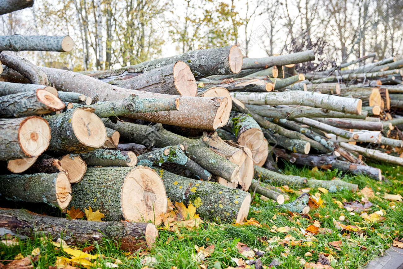 trunks of felled trees or logs outdoors in autumn - 169973051